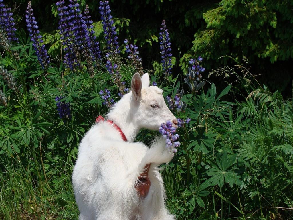 koza łubin