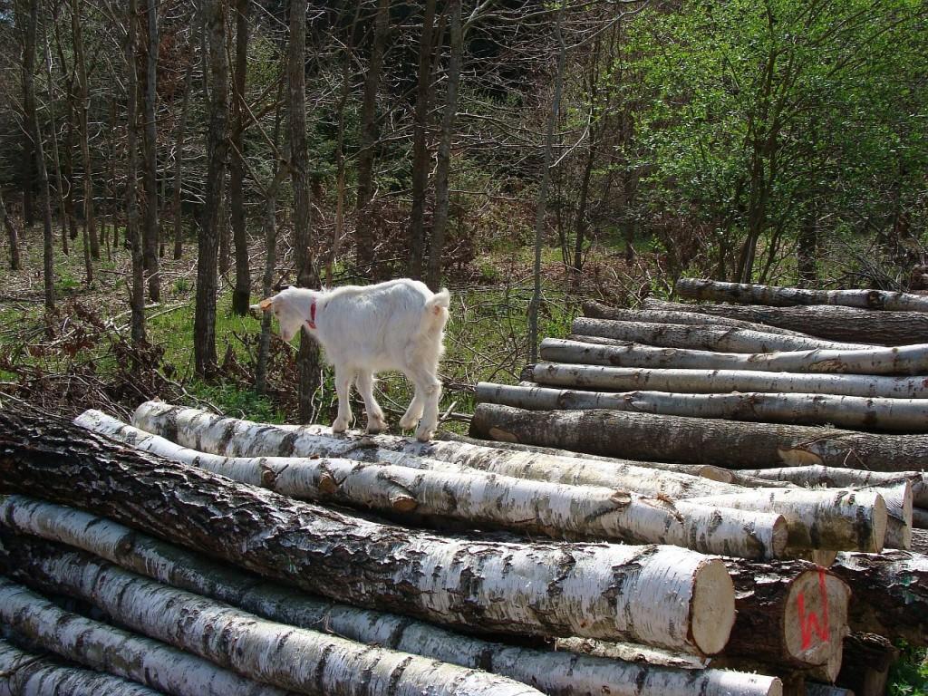 koza na drewnie