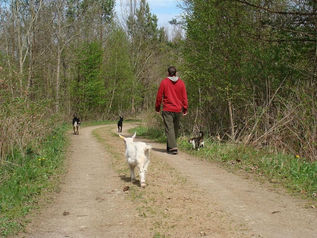 koza na spacerze