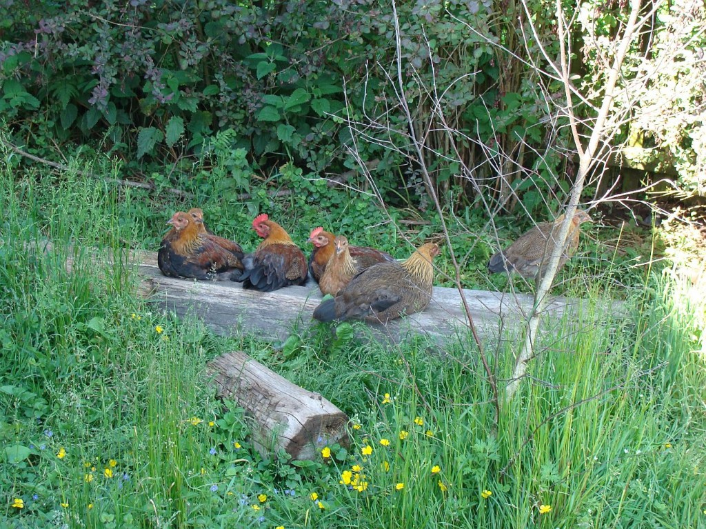 kurczaki2
