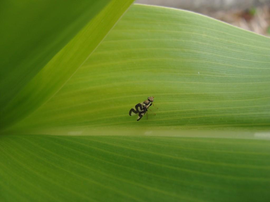 mucha na kukurydzy