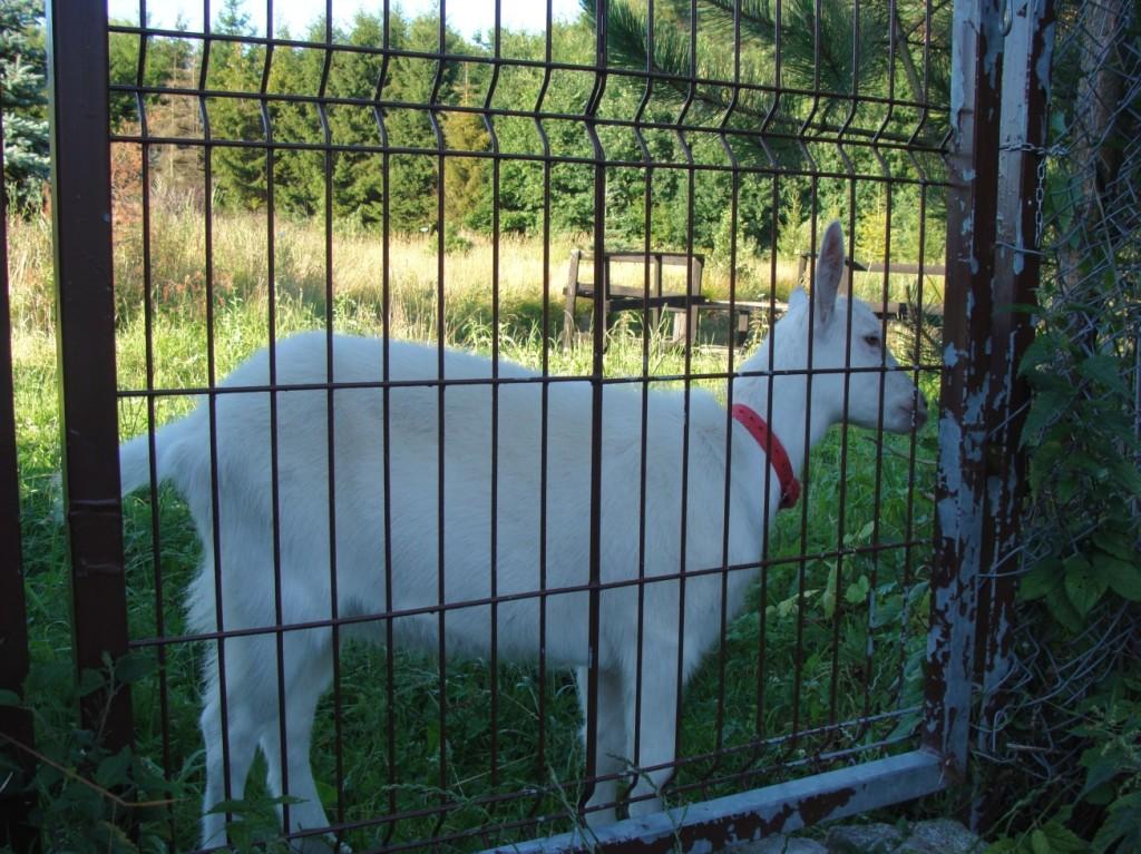 koza przy furtce2