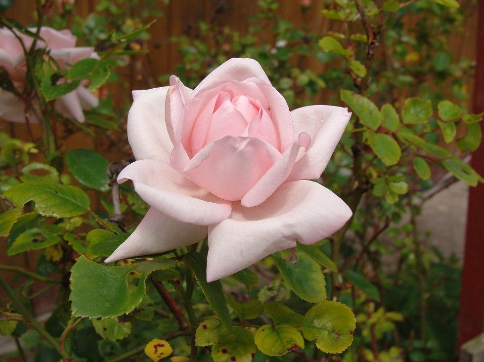 róża2