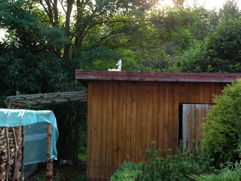koza na dachu konsumująca robinię