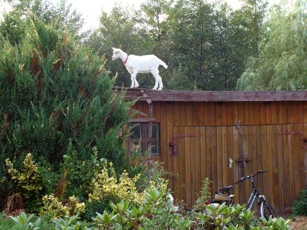 koza na dachu2