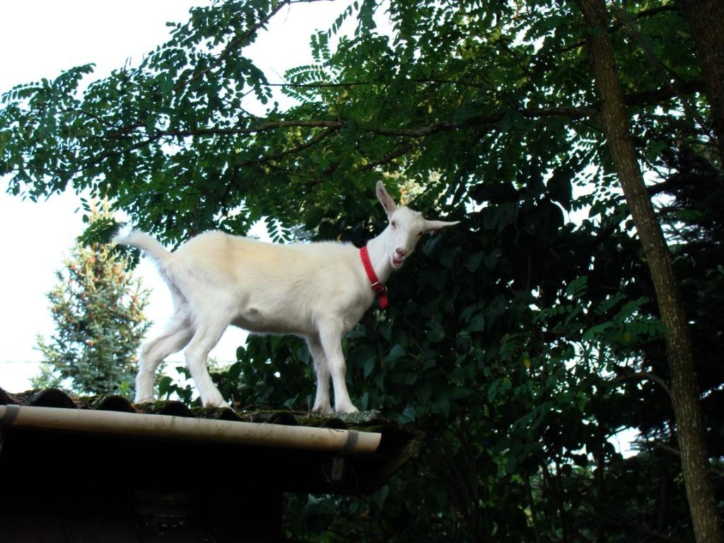 koza na krawędzi