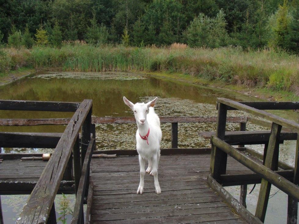 koza na pomoście2