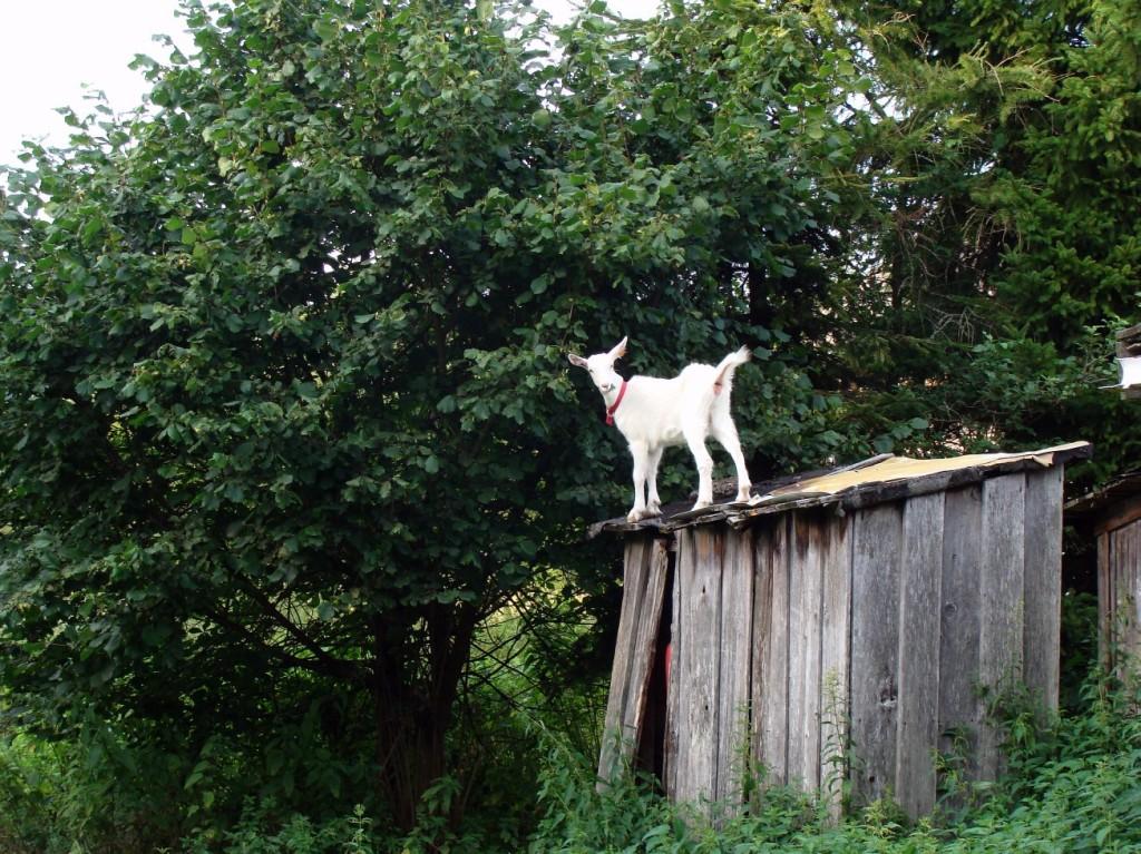 koza na sławojce