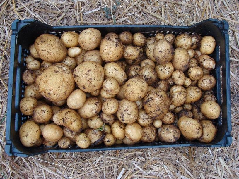 ziemniaki skrzynka